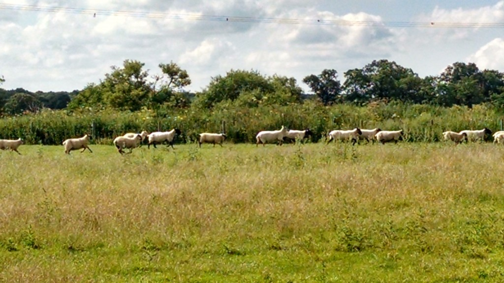 Go Beyond Coombe Abbey course sheep