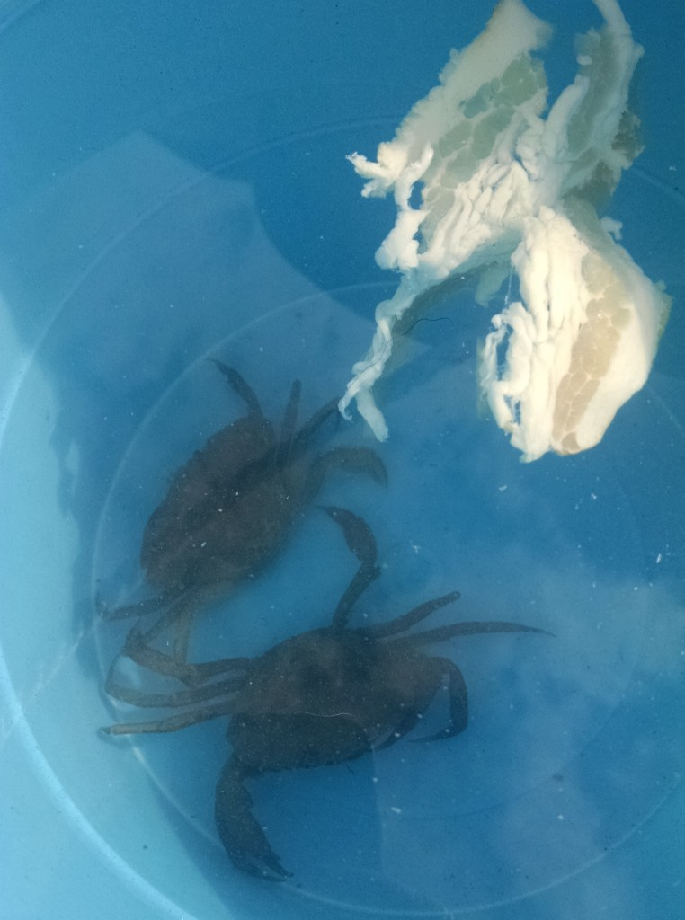 Crabbing at Wells beach