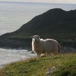 Sheep in Gower