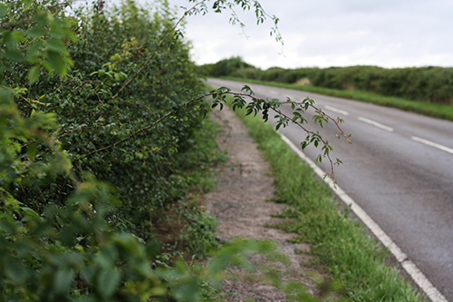 Awful shingle path between Raunds and Ringstead - Brambles jutting out onto the path