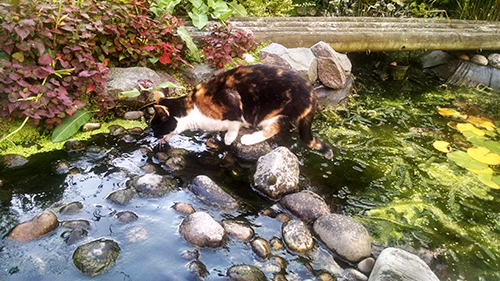 Bella drinking from the pond