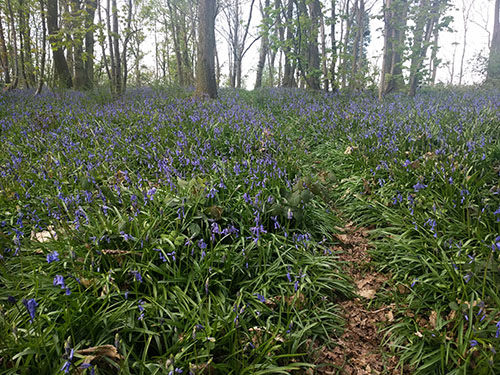 Bluebells in Shropshire
