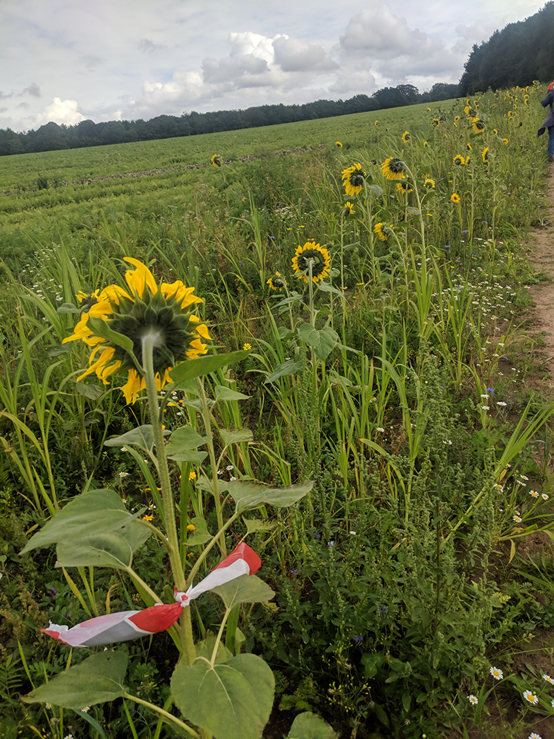 Sunflowers on the Robin Hood 100 miles