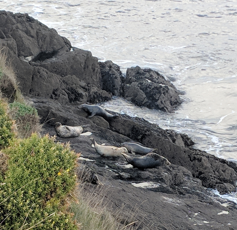 Seals at Worm's Head